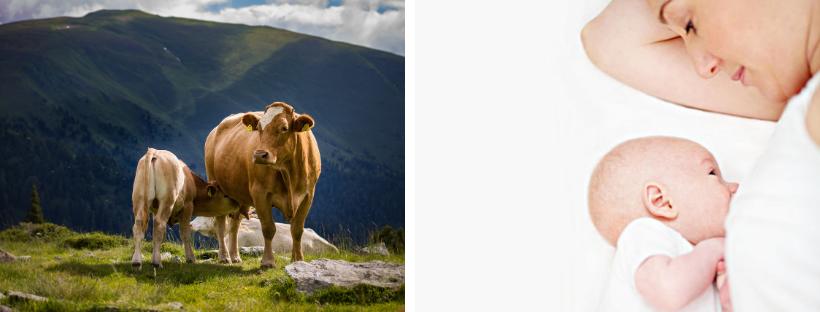 Kuh – Mutter und Eiweiss – was du bisher nichtwusstest